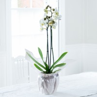 Gift Wrapped White Phalaenopsis Orchid