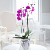 Gift Wrapped Pink Phalaenopsis Orchid
