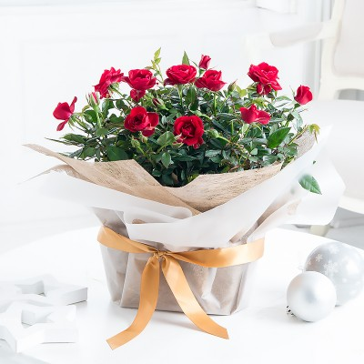 Large Gift Wrapped Red Rose Plant