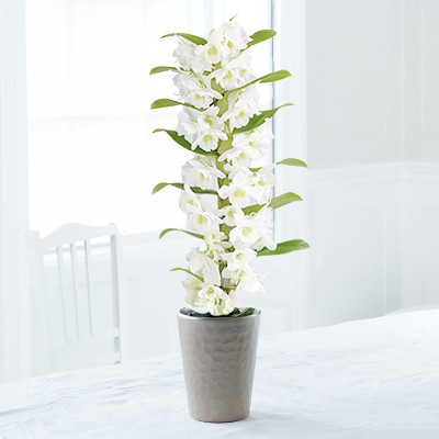 White Scented Dendrobium Orchid