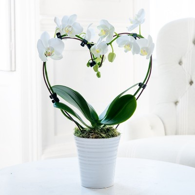 Heart Orchid Plant